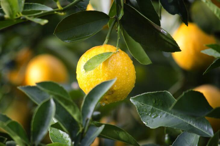 レモンは木からなる