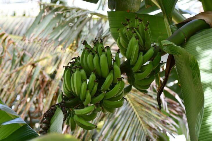 バナナの実も木の上になっているイメージがある